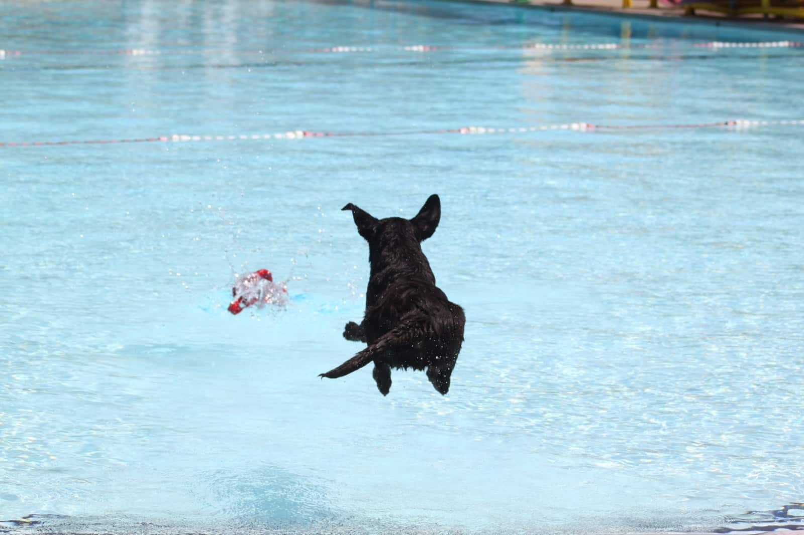 Bodie (Cuddles x Henley) Jumping into the pool at camp