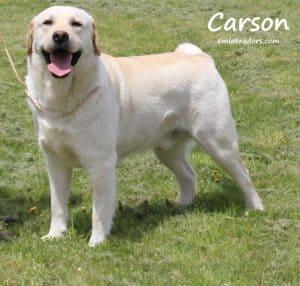 Carson- Endless Mt Labradors
