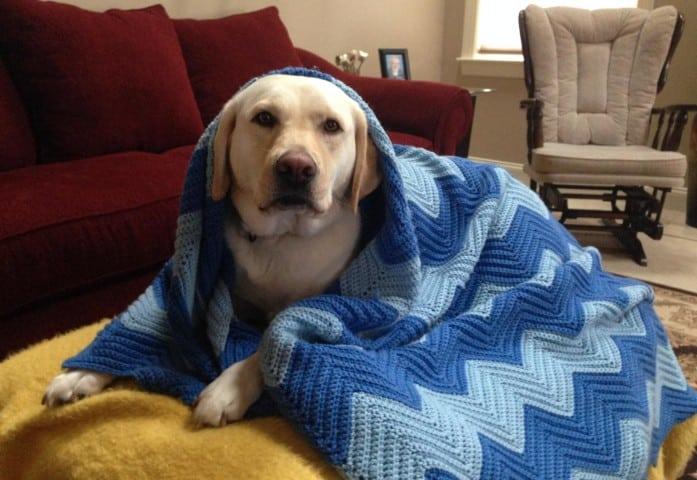 Sugar Mae under her blanket