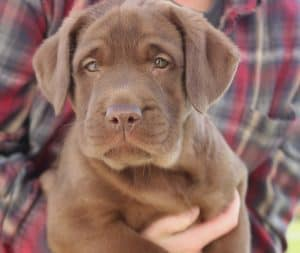 female chocolate pup