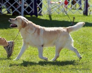 Scotch trotting- Endless Mt. Labradors