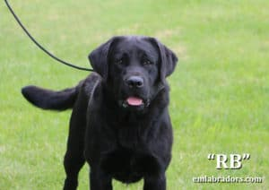 RB- Endless Mt Labradors