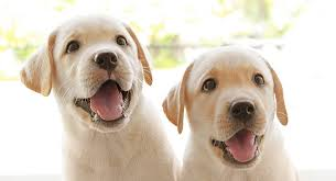 Puppy Breath Why You Love It And How To Prolong The Sweetness