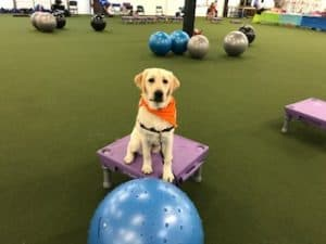 At one year of age she earned her Therapy Dog certification. Last month she  added her Advanced CGC e64df20a73