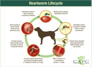 Hearworm Lifecycle