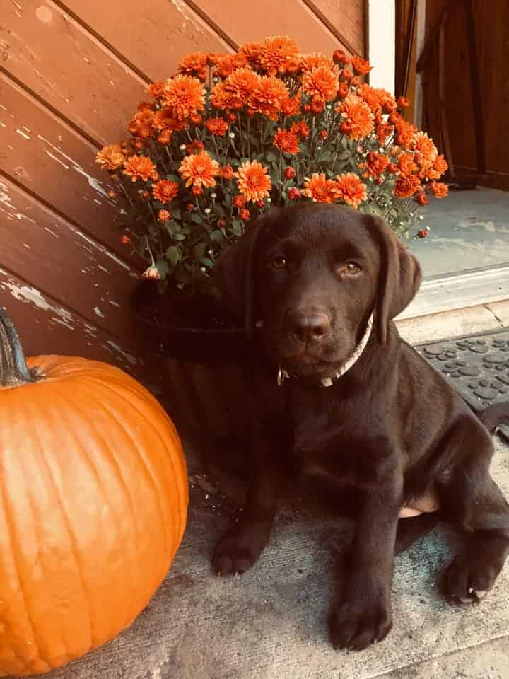 Harlie (Charlotte x Bosco) and her pumpkin! Shared by owner, Chris Vreeland