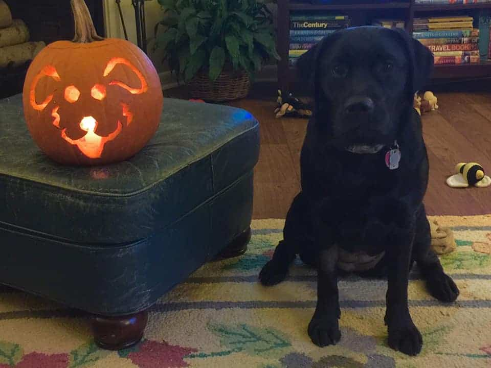 The surely very talented Maddy Bea (Paisley x RB) and her carved pumpkin! Shared by owner, Susan Wiley