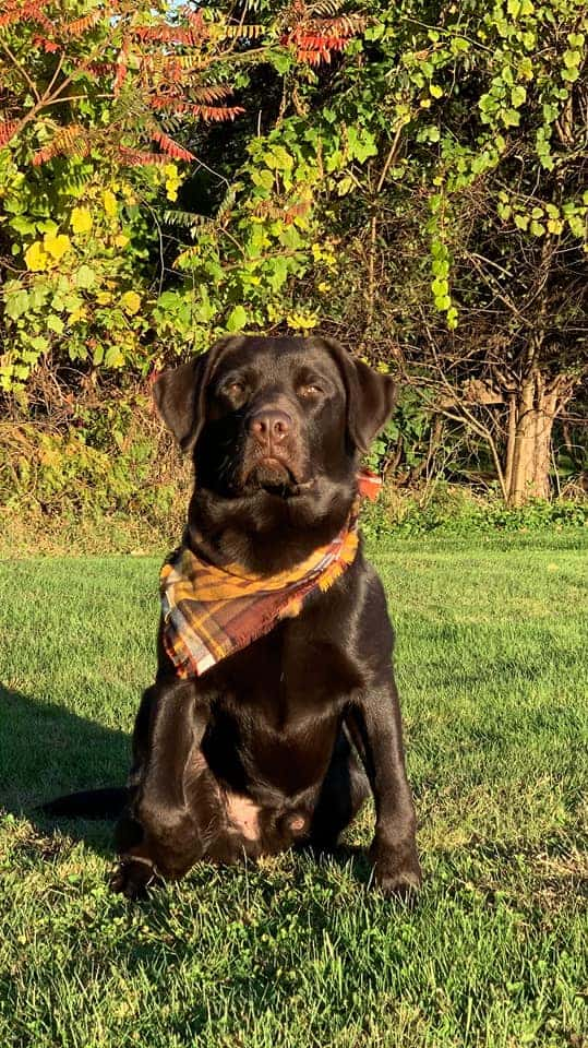 Another handsome shot of the stunning Otto (Genna x Bosco)- shared by owner, Lisa Konopka (the queen of getting her dogs to pose perfectly!)