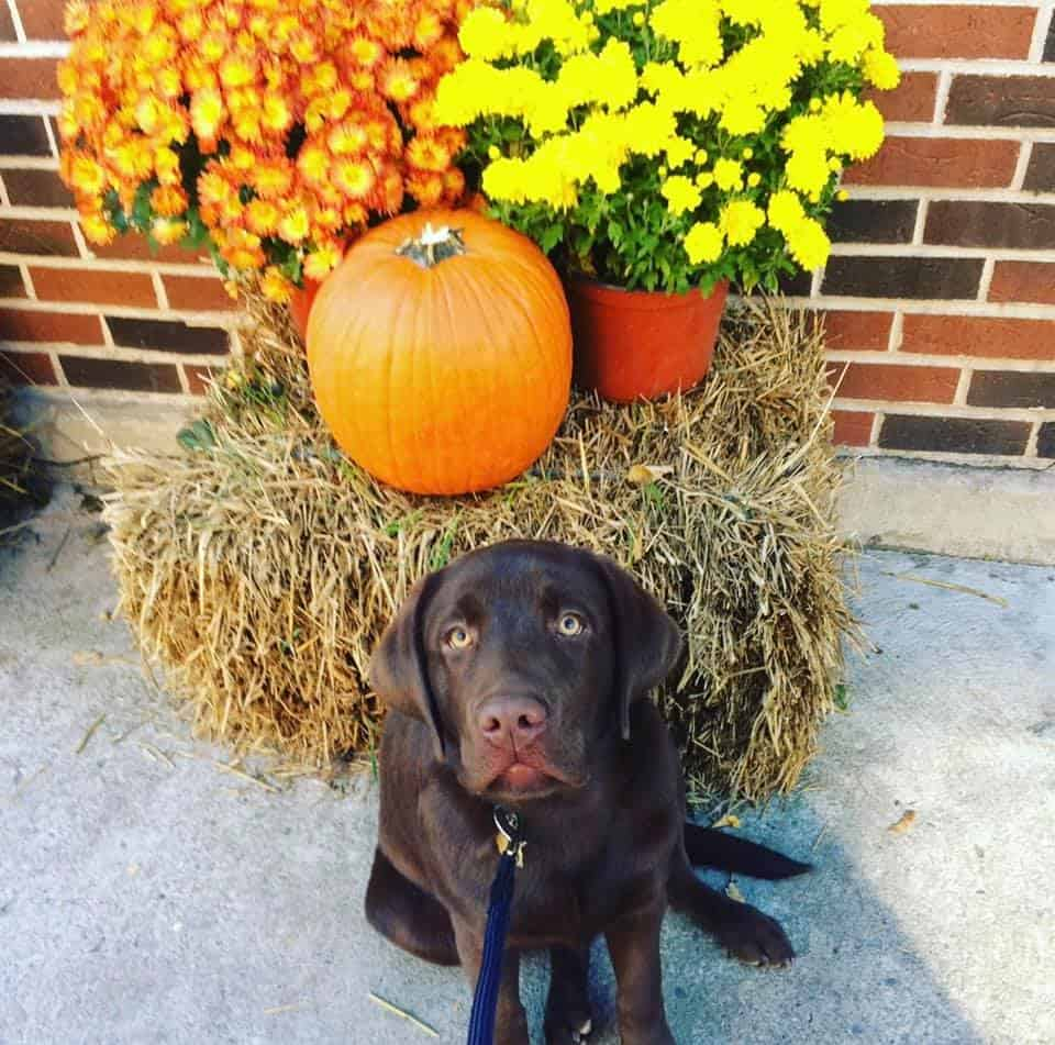 Puppy photo of Palmer (Ruby x Spencer) enjoying his first Fall! Palmer is now 5! Shared by owner, Kaitlin Barrett