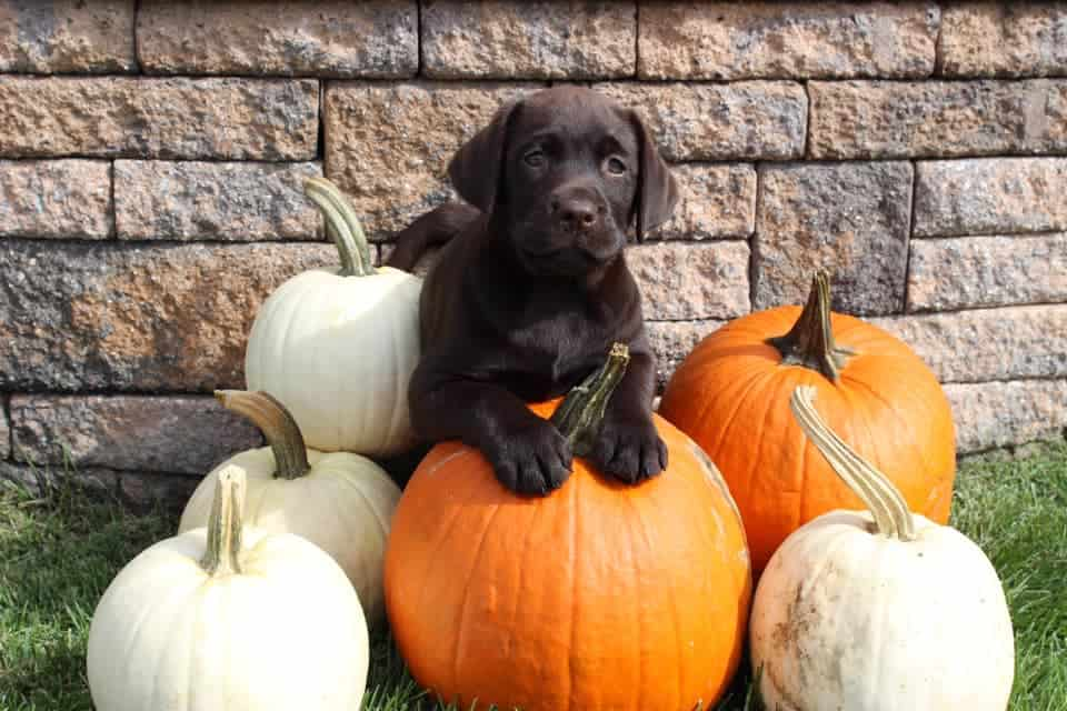 Looks like Troy got the idea of the photo shoot... posing BEYOND preciously with the pumpkins!- Troy (Genna x Reese 2016)- shared by owner, Bill Kroeschel